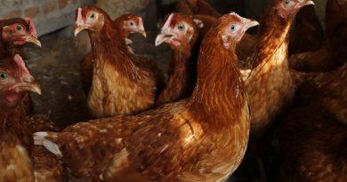 Jaką rasę kur wybrać do hodowli jaj?